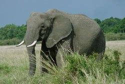 elephant-128848-1368812121_500x0