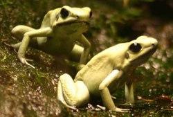 poison-dart-frog-384688-1368812121_500x0