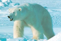 polar-bear-651396-1368812121_500x0
