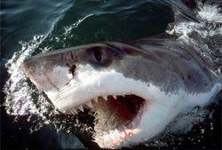 white-shark-679241-1368812122_500x0